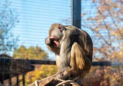 macaque in zoo enclosure