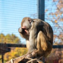 Leading Japanese Primate Research Center is Closing