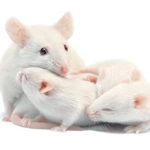 Mice that Survive Infection Pass on Stronger Immunity
