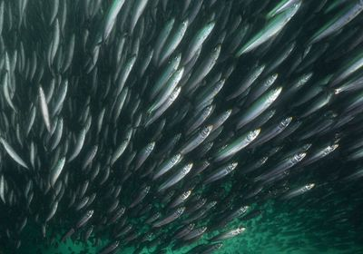 view from below of hundreds of silver sardines swimming in the same direction