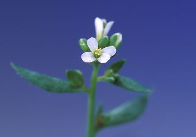 Arabidopsis thaliana flowers